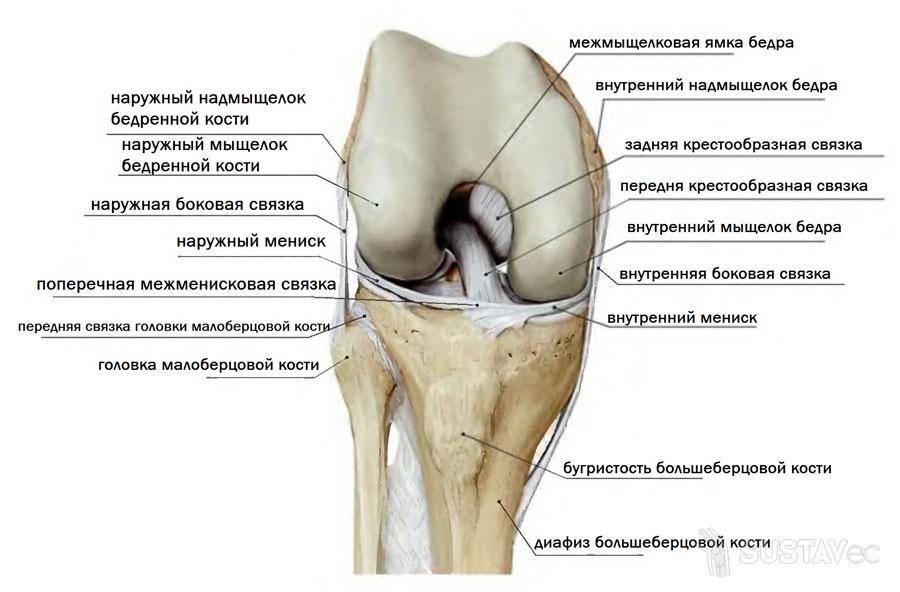 Анатомия коленного сустава и связок: строение на фото 12-4