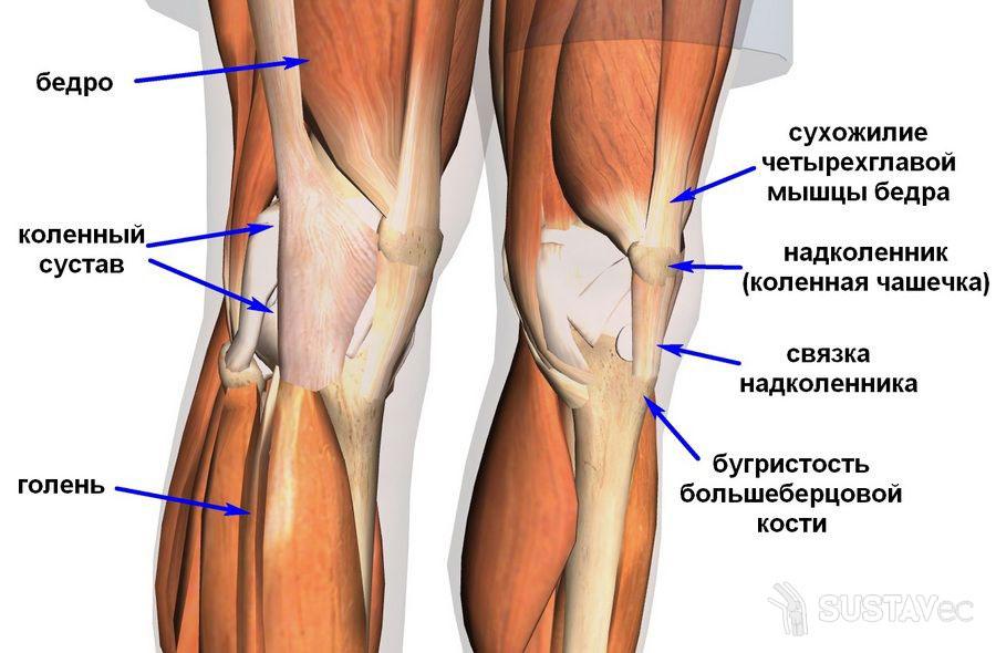 Строение коленного сустава человека и его особенности 72-2