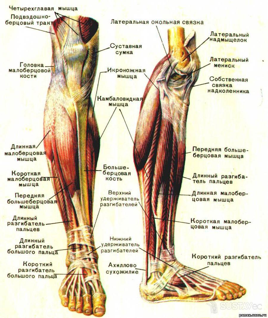Строение коленного сустава человека и его особенности 72-3
