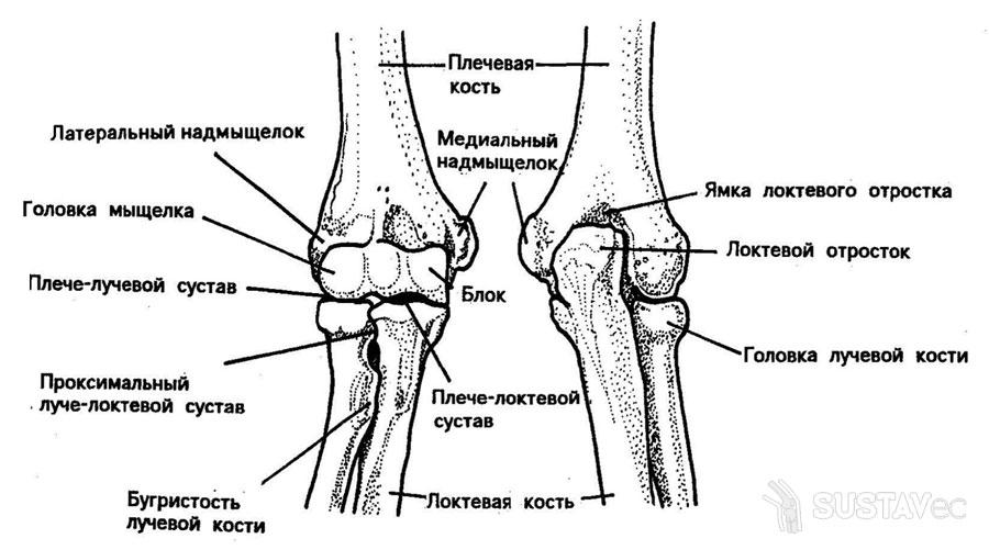 Анатомия локтевого сустава человека 12-1