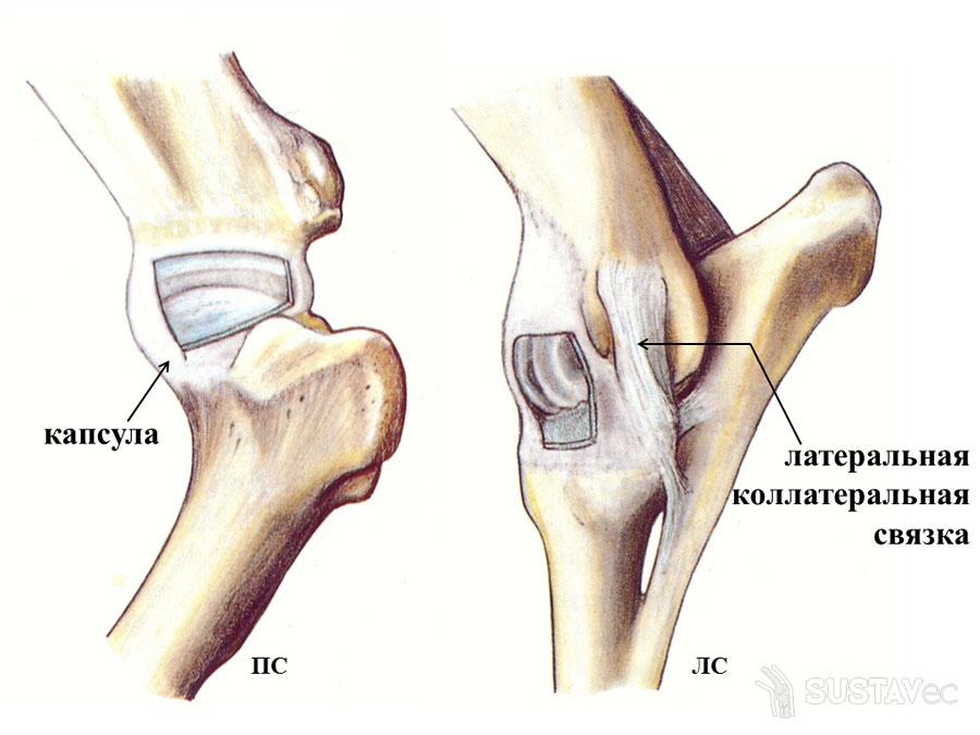 Анатомия локтевого сустава человека 12-2