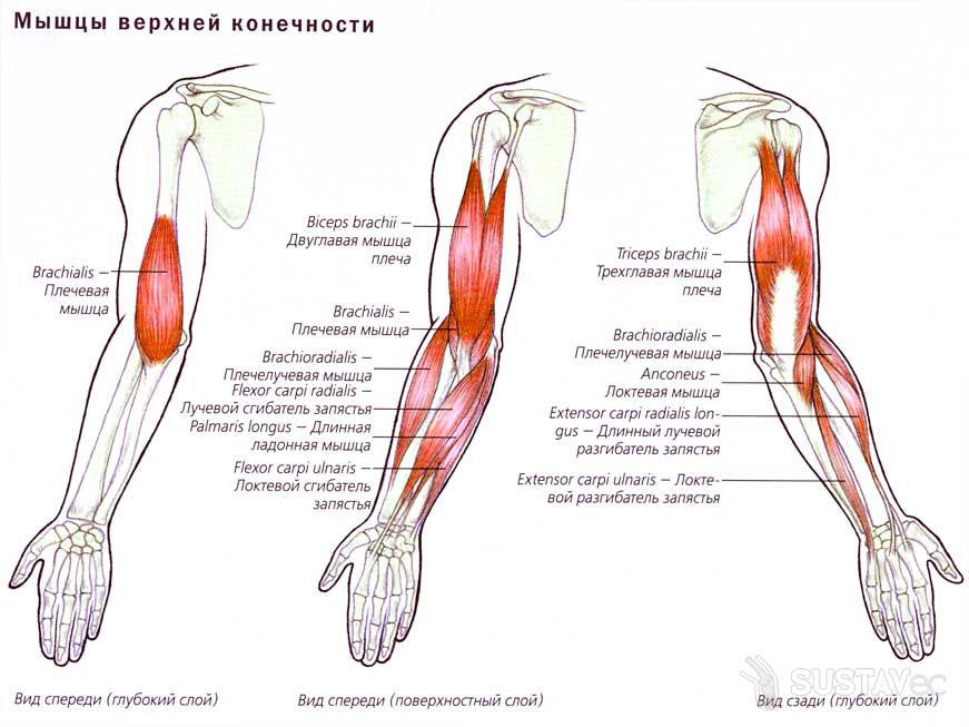 Анатомия локтевого сустава человека 12-3