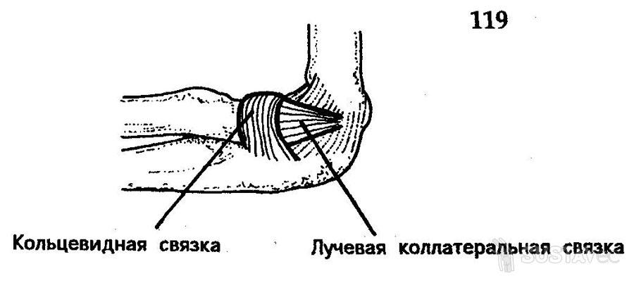 Анатомия локтевого сустава человека 12-5