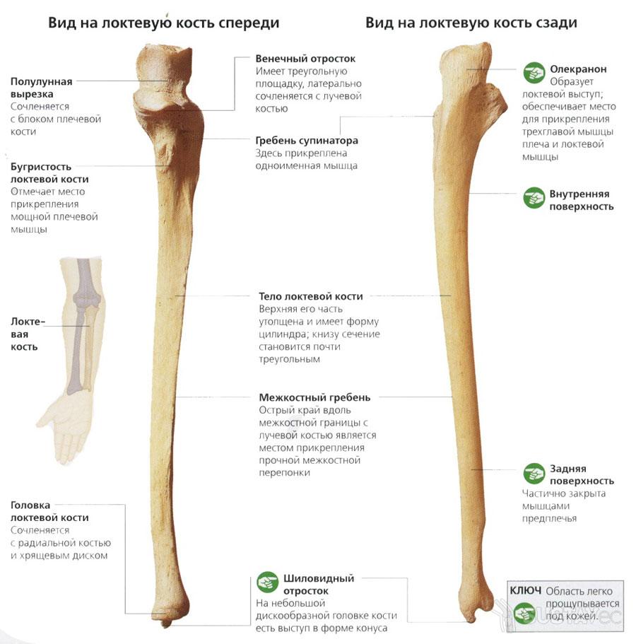 Строение локтевой кости 15-1