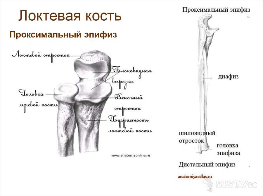 Строение локтевой кости 15-2