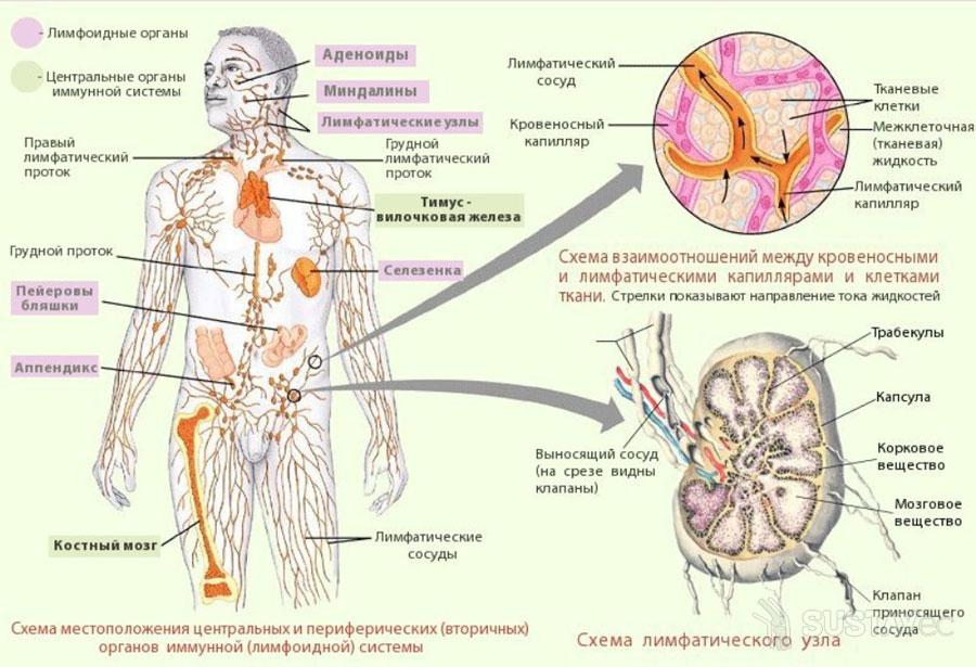 Назначение локтевых лимфоузлов 44-1
