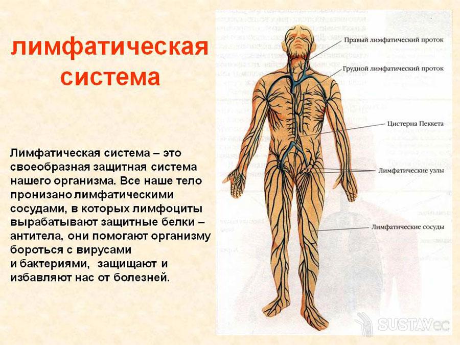 Назначение локтевых лимфоузлов 44-2